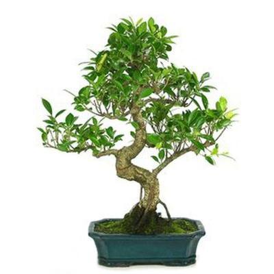 Bonsaï Bonsaï Ficus Retusa