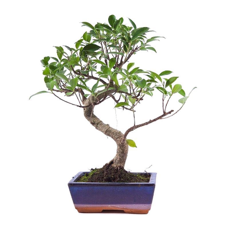 Bonsai ficus retusa 8 ans a vendre