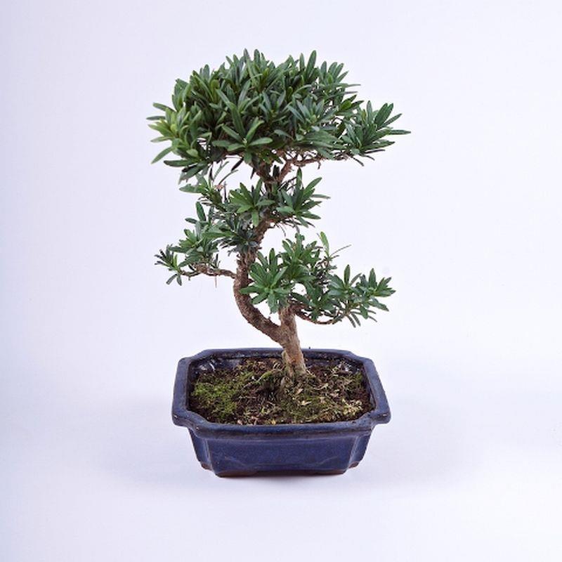 Bonsai podocarpus 9ans a vendre