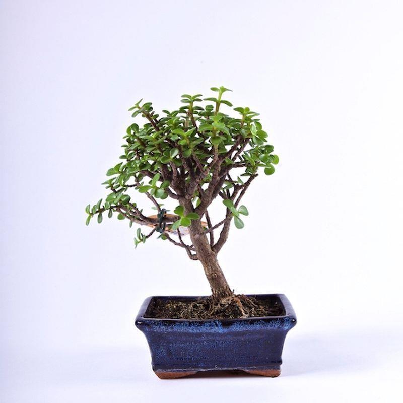 Bonsai portulacaria afra a vendre