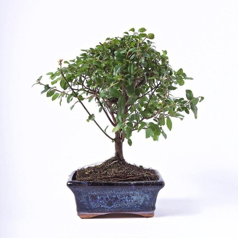 Bonsai sageretia theezans a vendre