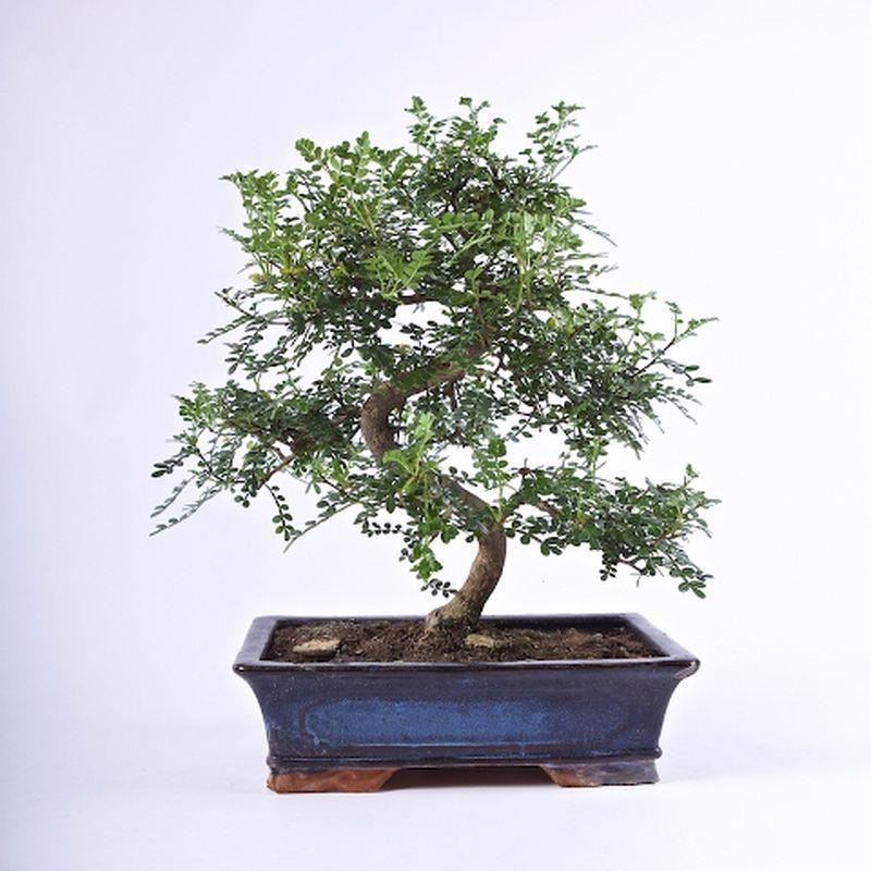 Bonsai zanthoxylum piperitum 16ans a vendre