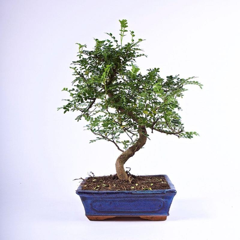 Bonsai zanthoxylum piperitum 8ans a vendre