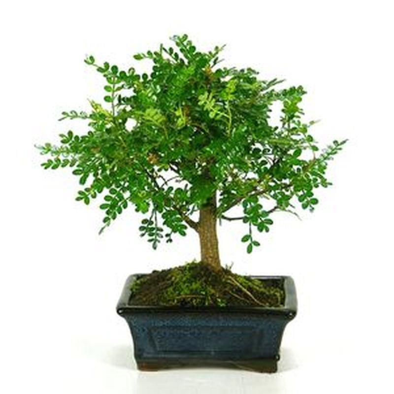 Bonsai zanthoxylum piperitum