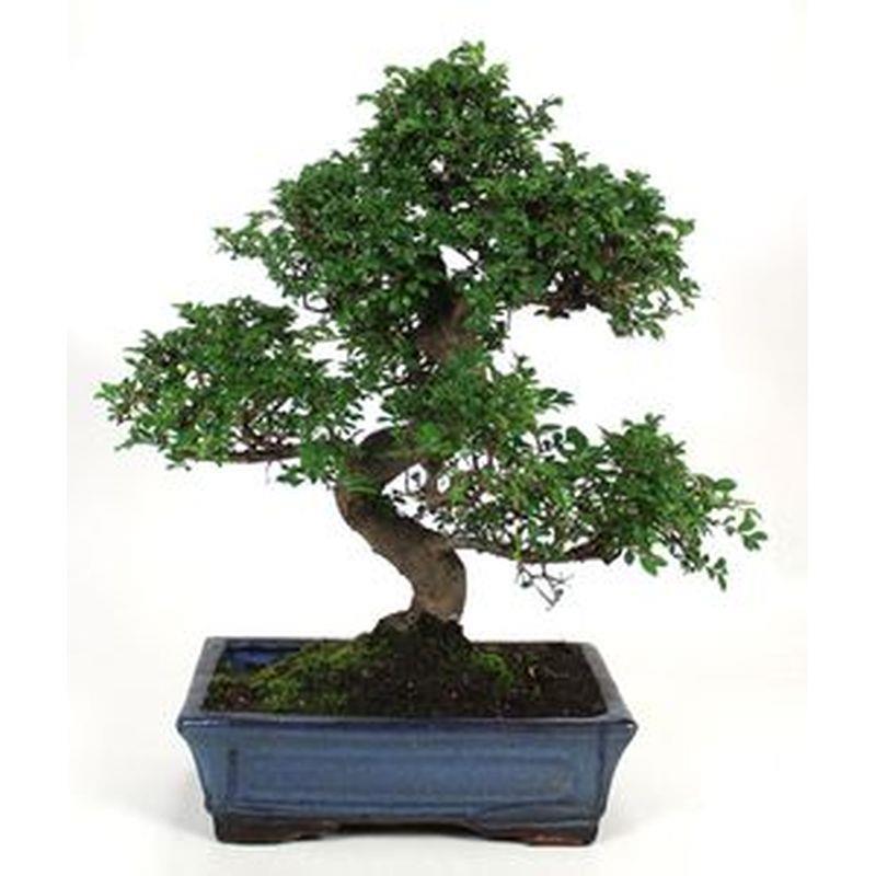 Bonsai zelkova parvifolia 10ans a vendre