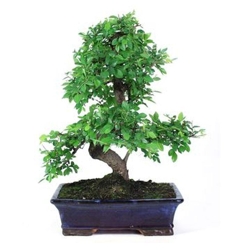 Bonsai zelkova parvifolia 16ans a vendre