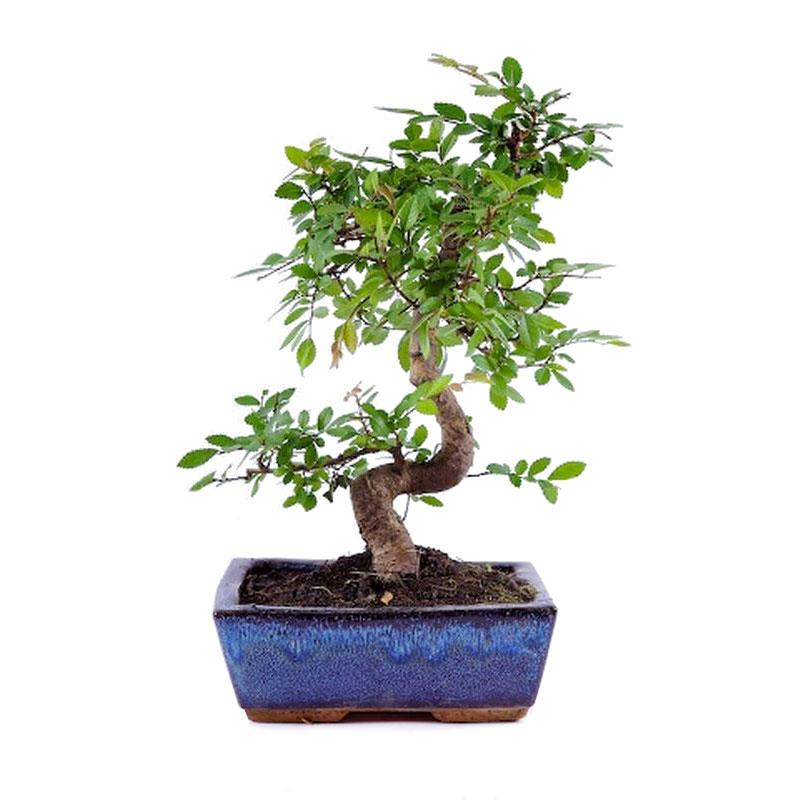 Bonsai zelkova parvifolia 8ans a vendre