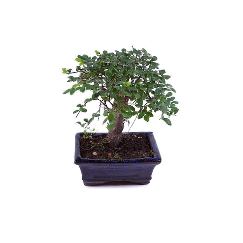 Bonsai zelkova parvifolia a vendre