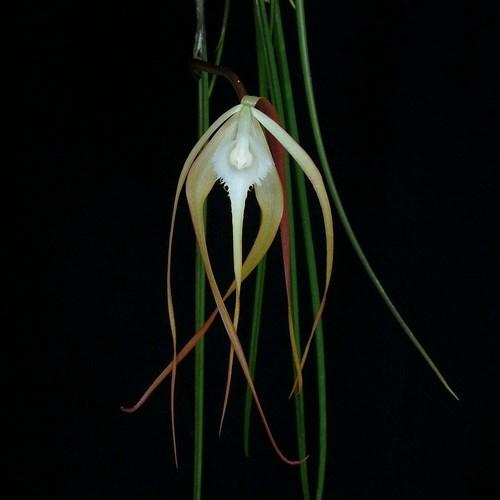 Orchid Brassavola cucullata