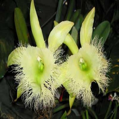 Orquídea Brassavola digbyana