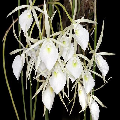 Orchid Brassavola flagellaris