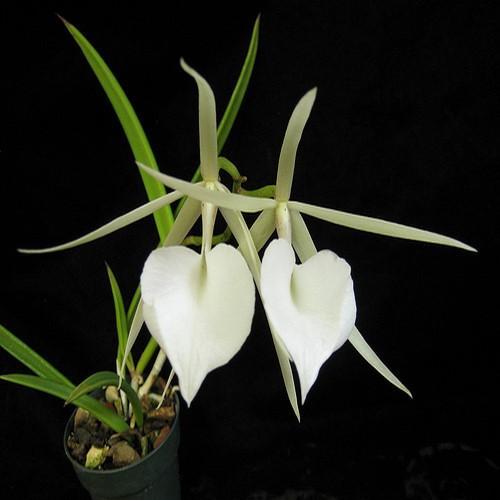Orquídea Brassavola nodosa