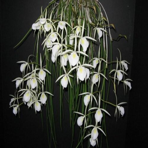 Orquídea Brassavola perrinii