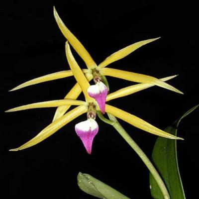Orquídea Epidendrum brassavolae