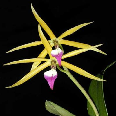 Orchidée Epidendrum brassavolae