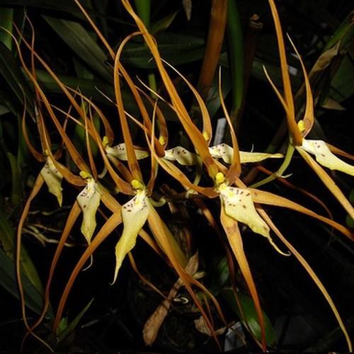 Orchidee Brassia arcuigera