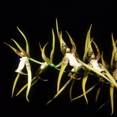 Brassia lanceana orchidee achat vente