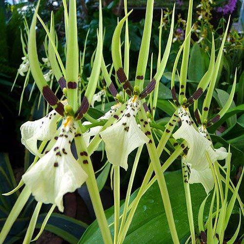 Brassia nanboh breeze orchidee orchid