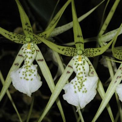 Brassia verrucosa plante orchidee vente achat acheter buy