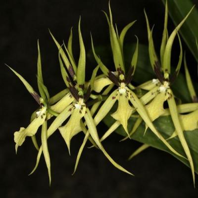 Brassia wagneri orchidee vente buy kauf