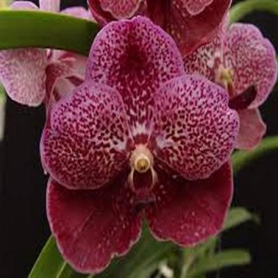 Orchidée Vanda brown ball