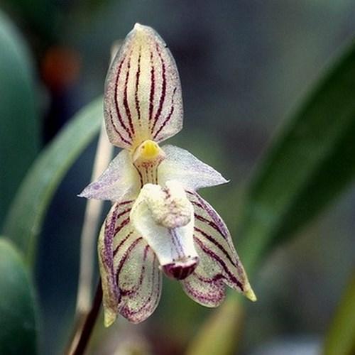 Orquídea Bulbophyllum ambrosia