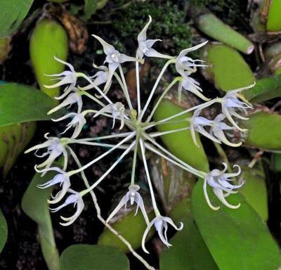 Orchidee Bulbophyllum laxiflorum