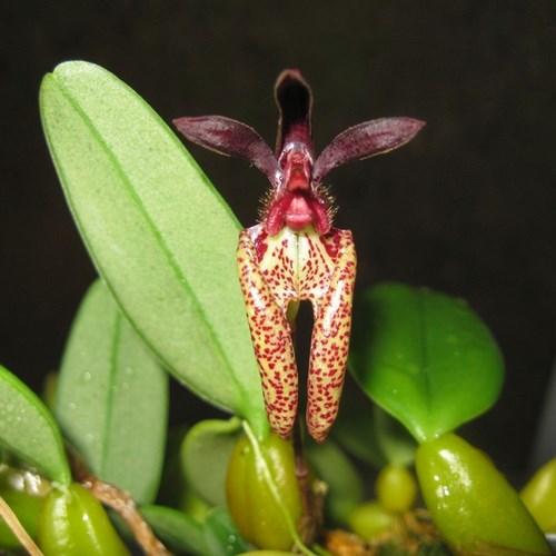 Bulbo lasiochilum orchidee vente