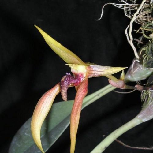 Orquídea Bulbophyllum papulosum
