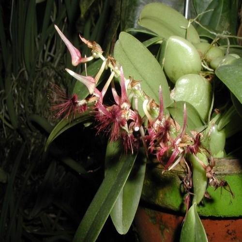 Orquídea Bulbophyllum barbiggerum