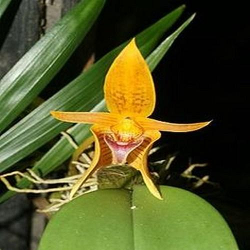 Orquídea Bulbophyllum cordata