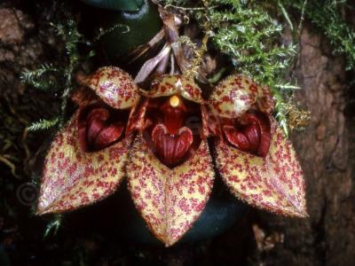 Orchidea Bulbophyllum frostii