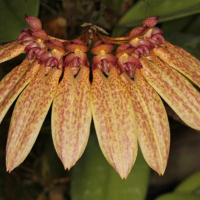 Orchidea Bulbophyllum longiflorum