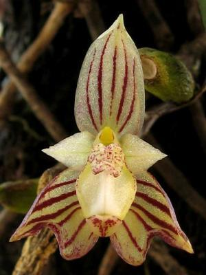 Bulbophyllum orchid for sale acheter orchidee venta orquidea botanical species