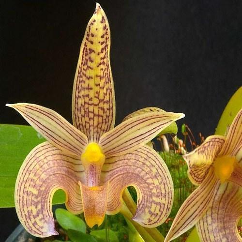 Orquídea Bulbophyllum palawanense