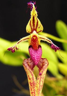 Orquídea Bulbophyllum putidum