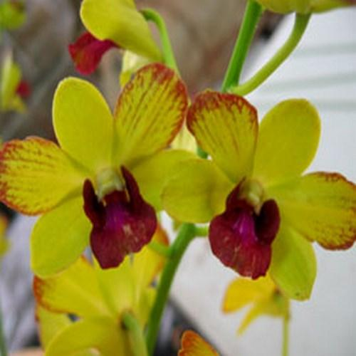 Orchidee Dendrobium burana fancy