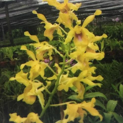 Orchid Dendrobium Burana royal x Lasianthera yeallow