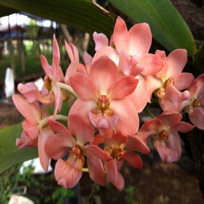 Orchidee Rhynchostylis gigantea peach