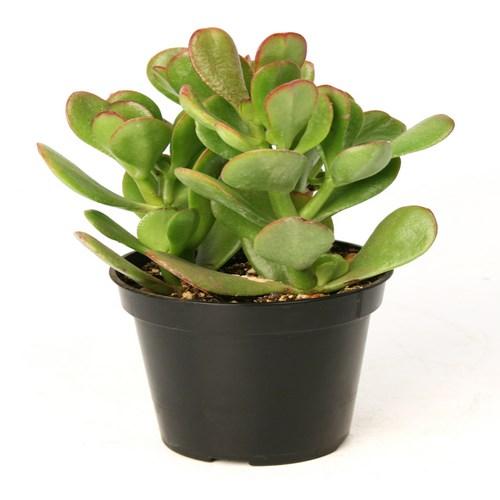 Cactus crassula ovata
