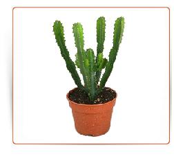 Cactus kaktus achat vente buy compre venta