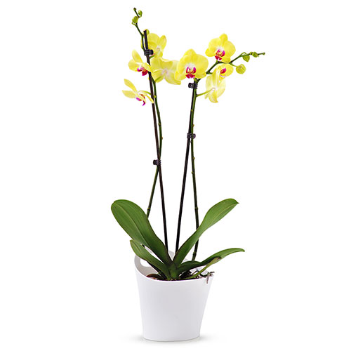 Cado001277 01 phalaenopsis orchidee limelight jaune
