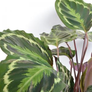 Calathea hybride