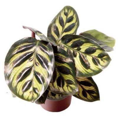 Mini Calathea makoyana