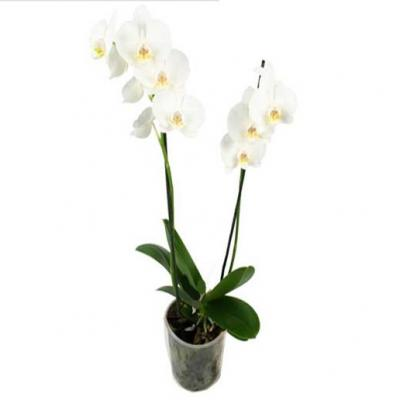 Orchid Phalaenopsis 2 branches white