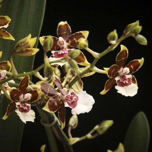 Cambria jungle monarch orchidee a vendre