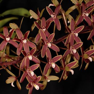 Orquídea Cymbidium canaliculatum
