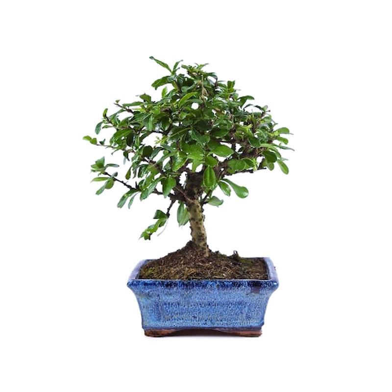 Carmona microphylla bonsai a vendre