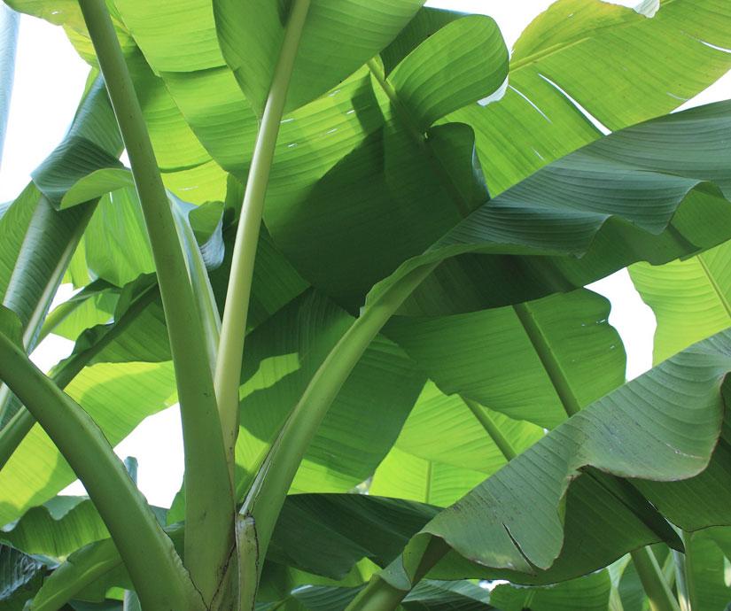 Cat palmiers bananiers
