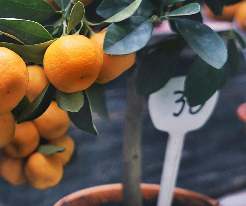 achat vente arbres fruitiers pas chers. Black Bedroom Furniture Sets. Home Design Ideas
